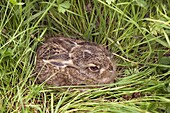 Young Brown Hare Lepus europaeus hiding in grassland