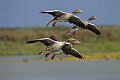 Greylag Goose Anser anser flock coming into land