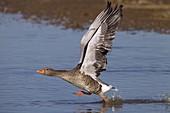 Greylag Goose Anser anser taking off from coastal pool