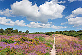 Kelling Heath Norfolk in August path through Gorse & Heather