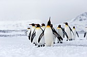 United Kingdom, South Georgia Islands, Salysbury plains, King Penguin Aptenodytes patagonicus, adults in the snow and the mist