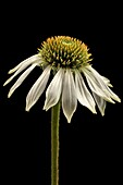 An echinacea flower with drooping petals isolated on a black background.
