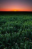 Crops at Sunset, near Leader, Saskatchewan