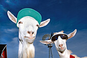 Goats Wearing a Hat and Sunglasses with a Farmyard in the background, near Fort St. John, British Columbia