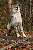 Grey Wolf, outside Golden, British Columbia