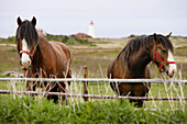 View of Horses and Lighthouse, Cape Anguille, Newfoundland