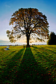 Tree silhouetted against sunrise in Stanley Park, Vancouver, British Columbia