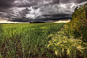 Thunder clouds over field of wheat north of Edmonton, Alberta