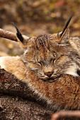 Lynx sleeping on log, northern British Columbia