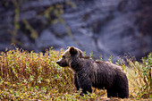 A young female Grizzly Bear standing in tall grass, Mussel River, Great Bear Rainforest, British Columbia