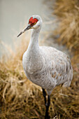 Sandhill Crane in Delta, British Columbia