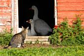 Cat Looking into Barn at Two Geese, Southwestern Saskatchewan