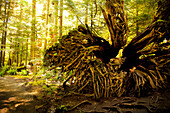 Roots of a tree in forest in Cathedral Grove, MacMillan Provincial Park, Port Alberni, Vancouver Island, B.C., Canada