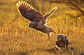 Immature Great horned owls backlit in a grass field, Saskatchewan