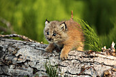 Canadian Lynx Kitten climbing on a log, Alaska