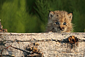 Canadian Lynx Kitten looking over a log, Alaska