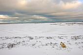 Polar bear playing in snow, Churchill, Manitoba