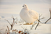 Ptarmigan, Churchill, Manitoba