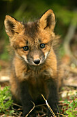 Young Fox, Teslin, Yukon