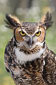 Great Horned Owl, Campbellville, Ontario