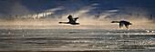 Trumpeter Swan silhouetted in flight near Swan Haven, Yukon Territory