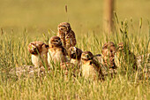 Digitally enhanced image with painterly effect of Burrowing owl chicks and adult, Grasslands National Park, Saskatchewan