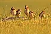 Digitally enhanced image with painterly effect of Burrowing owl chicks at sunset, Grasslands National Park, Saskatchewan