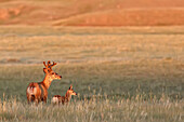 Digitally enhanced image with painterly effect of male white-tailed deer with young fawn, Grasslands National Park, Saskatchewan