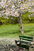 Cherry blossom tree with a bench in the background, High Park, Toronto, Ontario