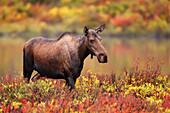 Adult female moose in the autumn colours, Dempster Highway, Yukon