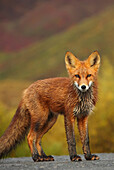 Young red fox, Yukon, Canada.
