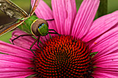 Close up of a dragonfly on a Aster, Ontario