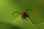 Close up of a red beetle on a leaf, Ontario