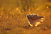 Immature Great horned owl backlit in a grass field, Saskatchewan