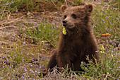 Grizzly bear cub eating flowers, Yukon