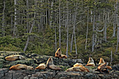Sea lions on rocks near Port Hardy, Vancouver Island, British Columbia