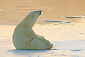 Polar bear sitting on the ice, Churchill, Manitoba