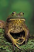 Tk0657, Thomas Kitchin, American Bullfrog. North America. Rana Catesbeiana.