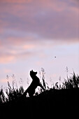 A red fox pup silhouetted against the night sky in a grass field, watching a bee buzzing around his head, Yukon