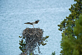 Osprey or Fish Eagle nest on Atlin Lake, Atlin Lake Provincial Park, Northern British Columbia