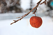 Frozen apple on a tree, Edmonton, Alberta
