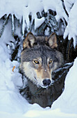 Tk0530, Thomas Kitchin, Gray Wolf/Timber Wolf. Winter. Rocky Mountains. Canis Lupus.