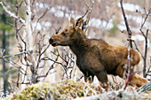 Newborn moose calf standing in the forest of gaspesie national park, quebec canada