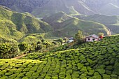 Malaysia, Pahang state, Cameron Highlands, tea plantations