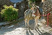 France, Lozere department, a donkey