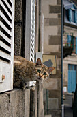 France, Limousin, Aubusson, Cat on a window sill, looking at the camera