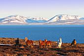 Iceland. Northern region. Vatnsnes Peninsula. Hvitserkur. Horses.