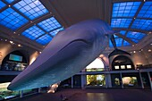 BLUE WHALE MODEL OCEAN LIFE HALL AMERICAN MUSEUM OF NATURAL HISTORY MANHATTAN NEW YORK CITY USA