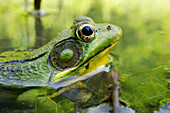 Green Frog Partly Submerged In Water, Vaudreuil Quebec Canada