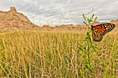 Monarch butterfly on a blade of grass at dawn in badlands national park, south dakota usa